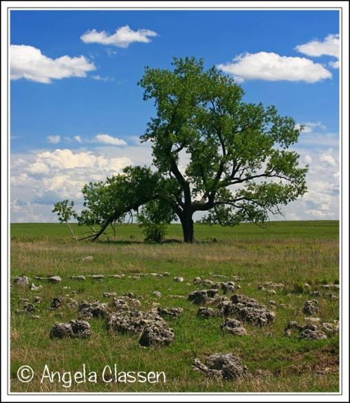 Lone cottonwood in a Chase Co. pasture
